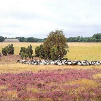 Heide und Heidschnucken